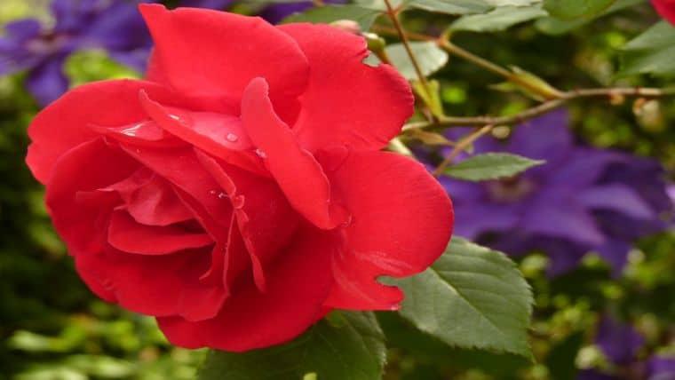 Το τριαντάφυλλο
