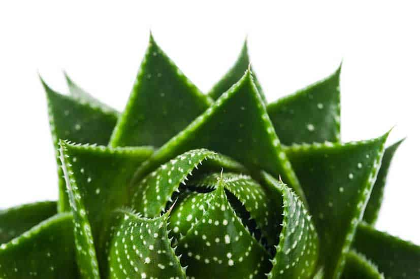 Aloe-Barbadensis