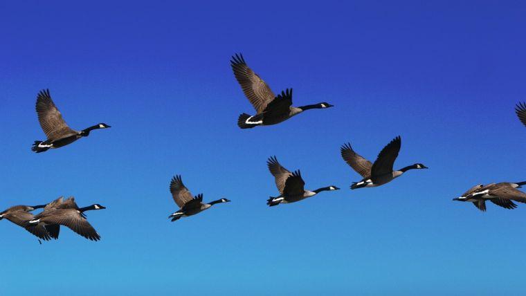 Τα πουλιά μπορούν να πετούν… κοιμισμένα!