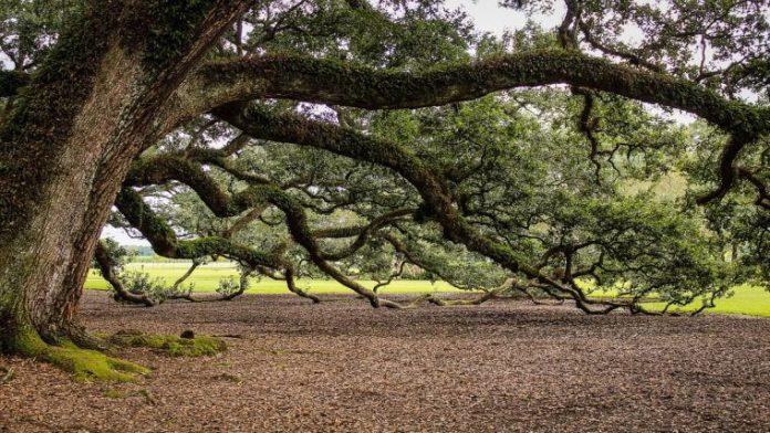 Τα δέντρα «μητέρες» αναγνωρίζουν συγγενικά δέντρα και τους στέλνουν μηνύματα