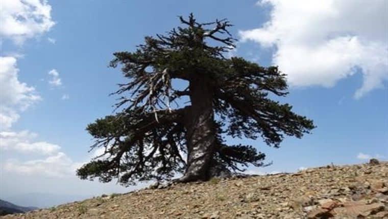 Ο χιλιόχρονος «Άδωνις» της Πίνδου γηραιότερο δέντρο στην Ευρώπη