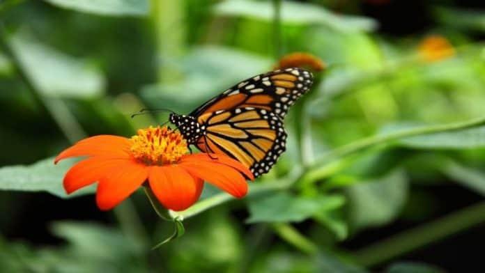 Από τι απειλούνται οι πεταλούδες της Μεσογείου;