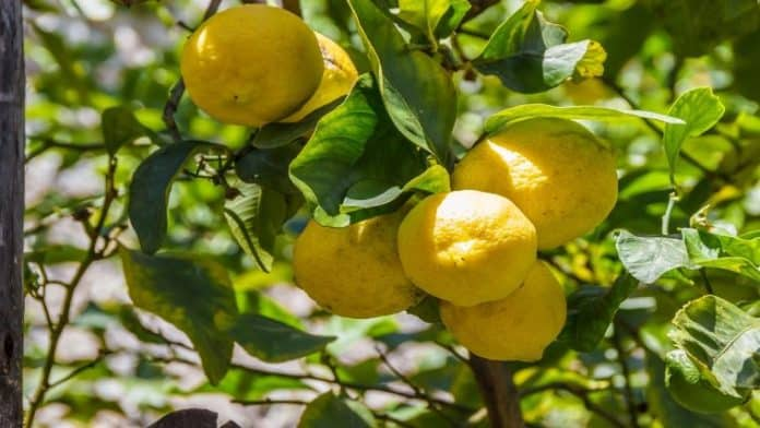 Πώς να καλλιεργήσετε λεμόνια από σπόρους έυκολα στο σπίτι