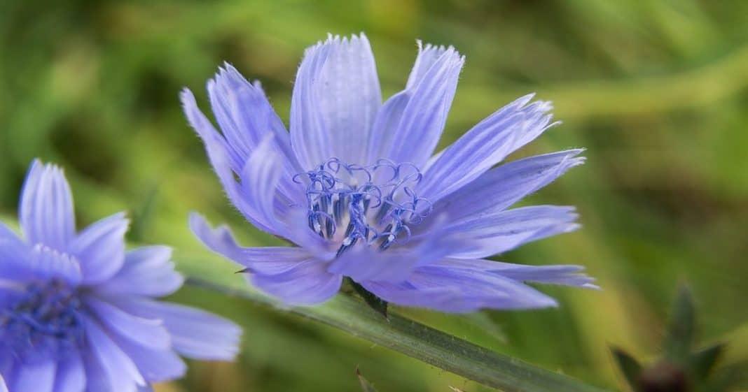 Chicory Το Ανθοΐαμα του Σκορπιού