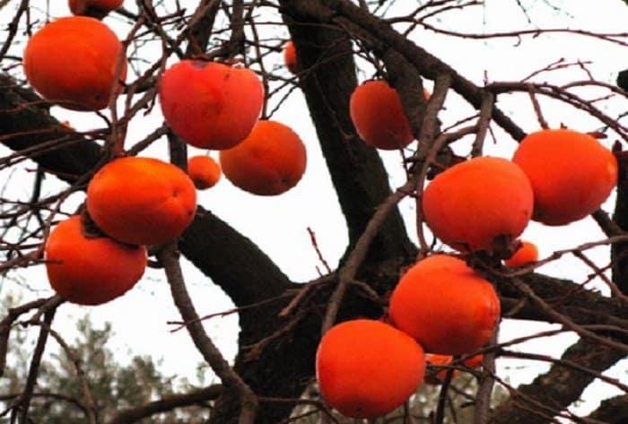 """Λωτός: Το θρεπτικό """"Μήλο της Ανατολής"""" με πλούσιες αντιοξειδωτικές και αντιγηραντικές ιδιότητες - δέντρο"""