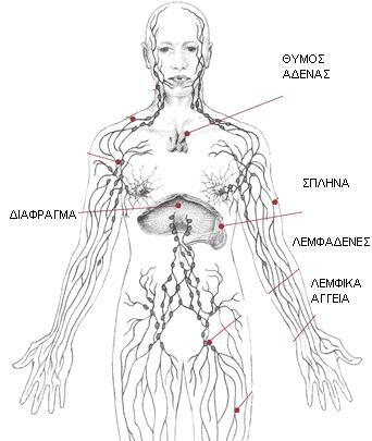 Λεμφικό σύστημα - Του Χαράλαμπου Τιγγινάγκα