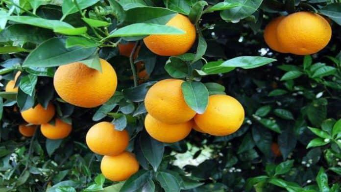 Πως μεγαλώνουμε βερυκοκιά και πορτοκαλιά από σπόρο