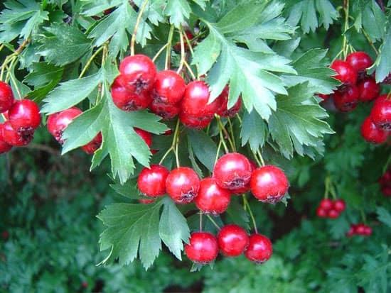 Βότανα που ενισχύουν την κυκλοφορία του αίματος