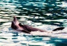 Οι φάλαινες και τα δελφίνια έχουν «ανθρώπινες» κοινωνίες και πολιτισμούς