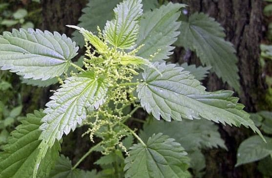 θεραπευτικά φυτά