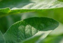 φασκόμηλο βότανο